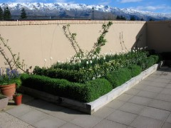 "espalier apples ""baujade"" ""liberty"" on courtyard wall with hedges of lavender ""dwarf munstead""mexican orange blossom and chives in front, french courtyard, lavender and thyme cottage pisa moorings pisa central otago new zealand"
