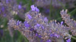 """""""Grosso"""" Lavender at Lavender and Thyme Cottage"""
