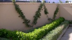 """Liberty"" and ""Baujade"" apples espaliered on courtyard wall at Lavender and Thyme Cottage"