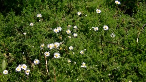 Lawn of chamomile at Lavender and Thyme Cottage