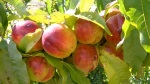 """Fantasia"" nectarine at Lavender and Thyme Cottage"