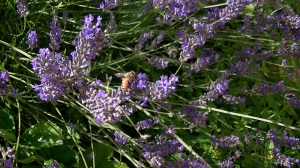 """Grosso"" Lavender with wild bees at Lavender and Thyme Cottage"