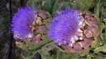 Purple artichoke in flower at Lavender and Thyme Cottage