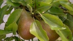 """Gourmande"" Pear at Lavender and Thyme Cottage"