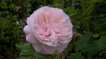 """Sharifa Asma"" rose an english rose at Lavender and Thyme Cottage"