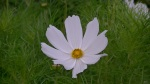 """White """"Cosmos"""" at Lavender and Thyme Cottage"""