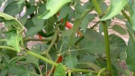 Chilli Peppers French Potager Garden at Lavender and Thyme Cottage