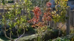 Autumn Colours Espaliered Gourmande and Conference Pears