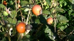English rose 'windrush' rosehips in autumn