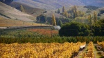 Wooing Tree Vineyard in Autumn Central Otago