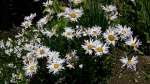White Daisy Shasta