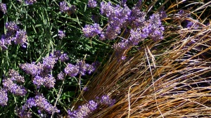 Grosso Lavender and Carex Bucchanii